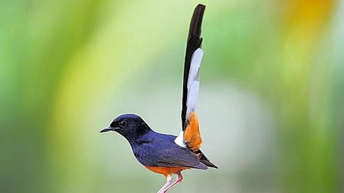budidaya burung murai